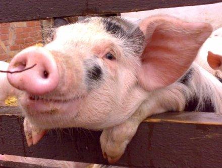【搜狐科学消息】据国外媒体报道,三只小猪的故事想必大家都知道,聪明的小猪盖砖房从而挫败了恶狼。可是却很少人知道猪后来为了加强房子的安全防护,在沿路险要位置安装了许多凸面镜。也许你认为这不可能,但为什么不可能呢?接下来我们将用实验向你证明猪有多聪明。   在最新一期的《动物行为》(Animal Behaviour)杂志中,研究人员提供了有利证据证明猪能够迅速了解镜子的工作原理,并且运用镜子的反射功能观察周围环境,找到食物。   然而研究人员还不能确定猪是否意识到镜子中的镜像是它们自己,以及猪是否可以与类
