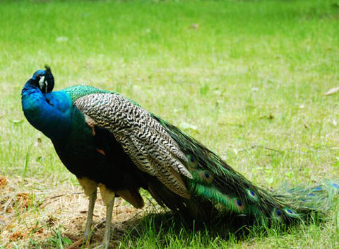 杭州野生动物世界成功救护四只小孔雀